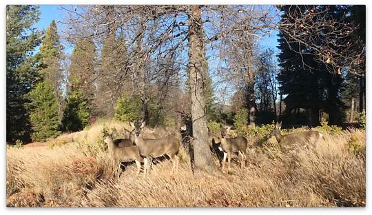 Mt Shasta Retreat Center - Deer